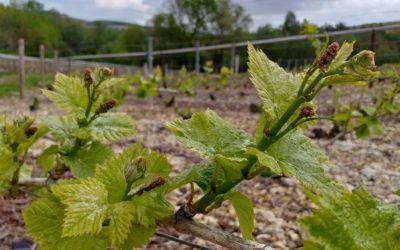 19 mai 2021- Formation des raisins